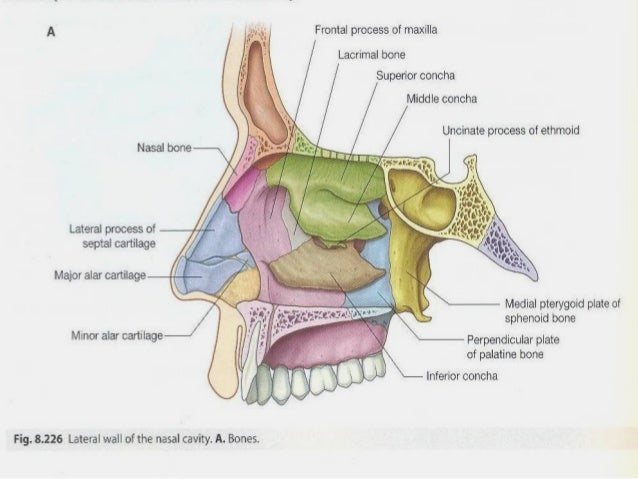 Nasal Cavity Anatomy on diagram of body cavities