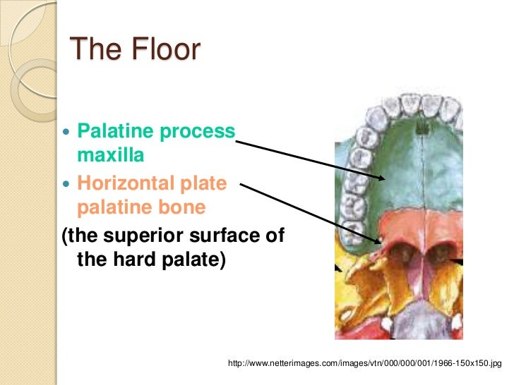 Nasal cavity and paranasal sinuses for Floor of nasal cavity