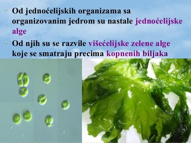 Od jednoćelijskih organizama sa organizovanim jedrom su nastale jednoćelijske alge Od njih su se razvile višećelijske zele...