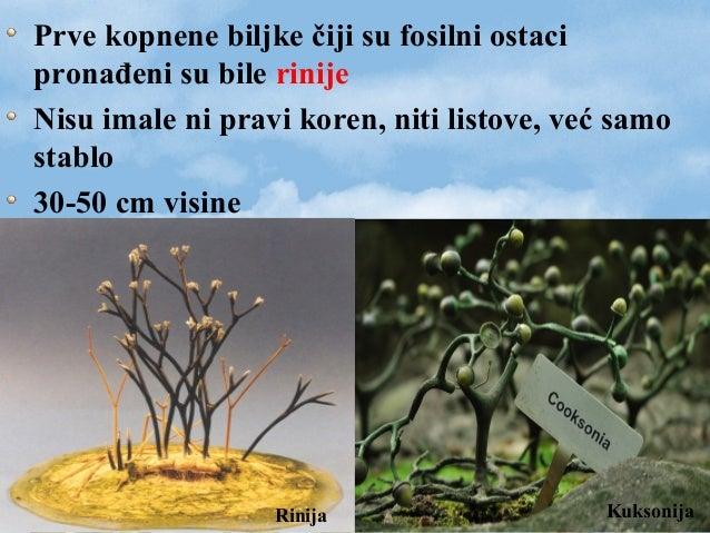 Prve kopnene biljke čiji su fosilni ostaci pronađeni su bile rinije Nisu imale ni pravi koren, niti listove, već samo stab...