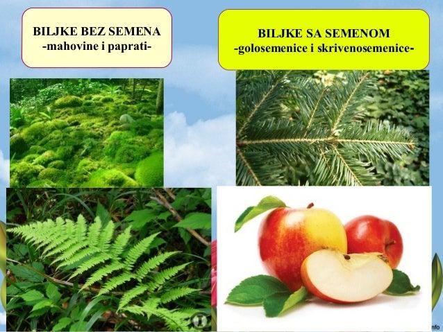 U semenu se razvija KLICA (začetak nove biljke)