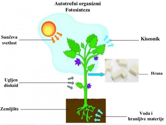 Autotrofni organizmi Fotosinteza Sunčeva svetlost Ugljen dioksid Zemljište Voda i hranljive materije Kiseonik Hrana