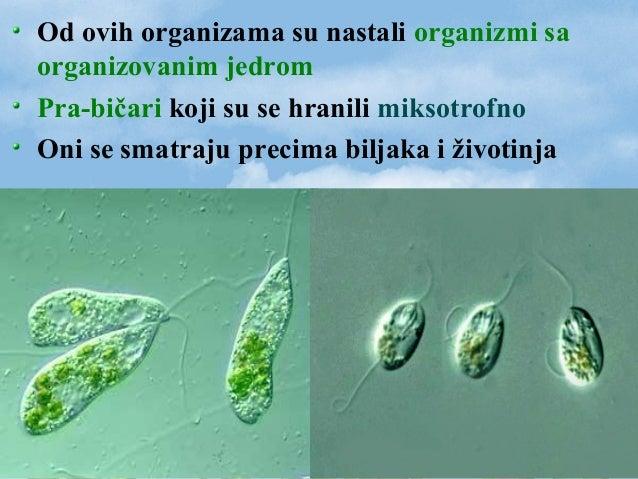 Od ovih organizama su nastali organizmi sa organizovanim jedrom Pra-bičari koji su se hranili miksotrofno Oni se smatraju ...