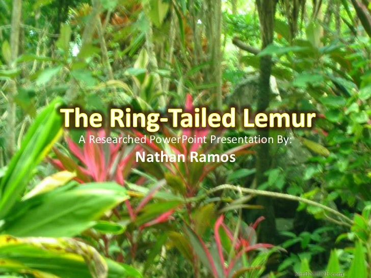 The Ring-Tailed Lemur<br />A Researched PowerPoint Presentation By: Nathan Ramos<br />