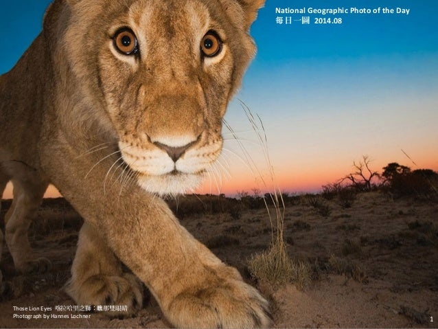 Those Lion Eyes 喀拉哈里之獅: 那雙眼睛瞧 Photograph by Hannes Lochner 1 National Geographic Photo of the Day 日一圖每 2014.08