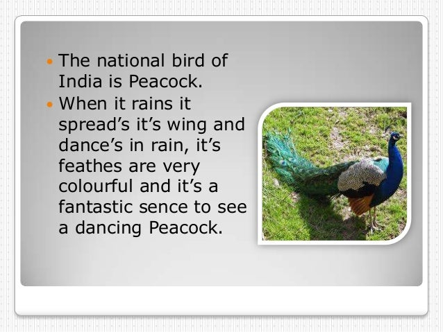  The national bird of  India is Peacock. When it rains it  spread's it's wing and  dance's in rain, it's  feathes are ve...