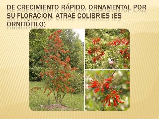 Plantas nativas del bosque andino patag nico con potencial for Arboles perennes de crecimiento rapido