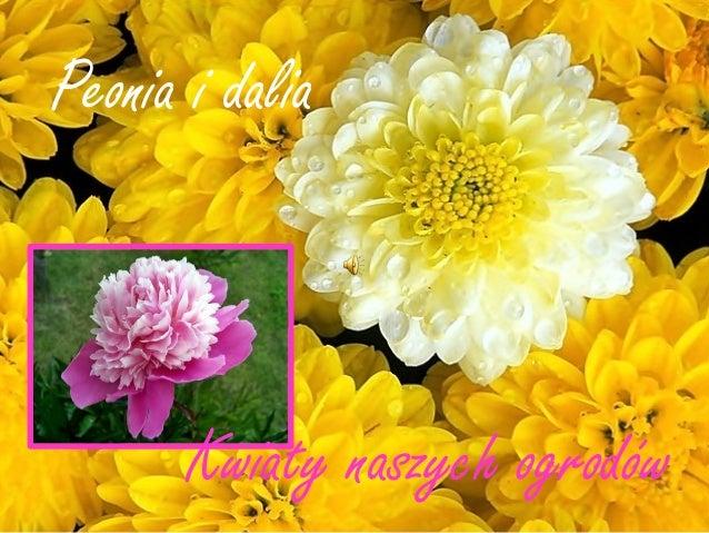 Peonia i dalia       Kwiaty naszych ogrodów