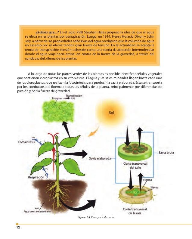 13 La respiración y la fotosíntesis en las plantas Las funciones de respiración y de fotosíntesis son parte de la nutrició...