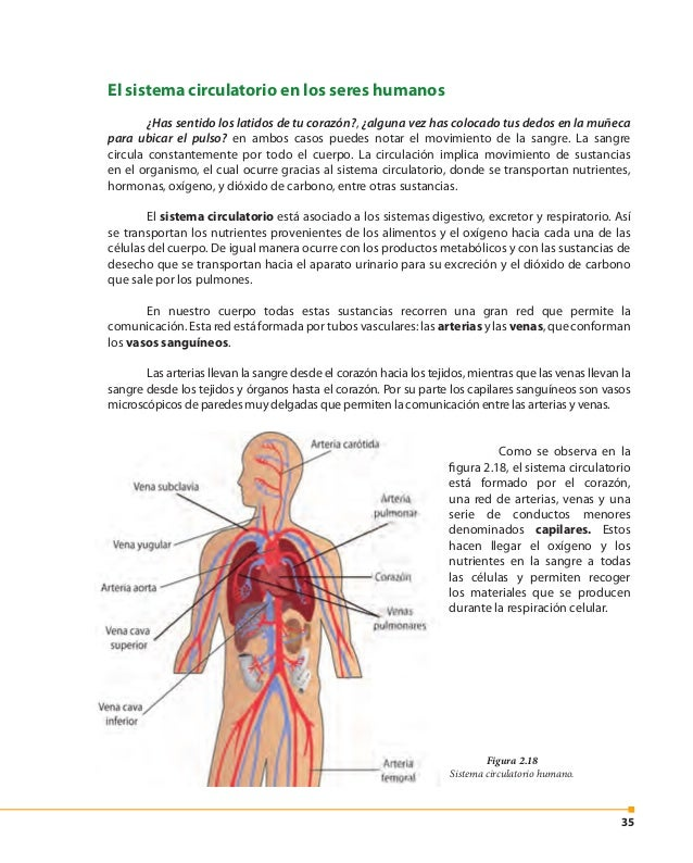 36 Figura 2.19 El corazón. ¿Sabías que…? Si en la sangre los niveles de glucosa y lípidos (como el colesterol) se encuentr...