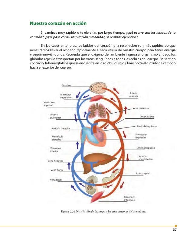 38 Figura 2.21 Circulación mayor y menor. Figura 2.22 Circulación cerrada. Las cuatro cavidades del corazónformandosbombas...