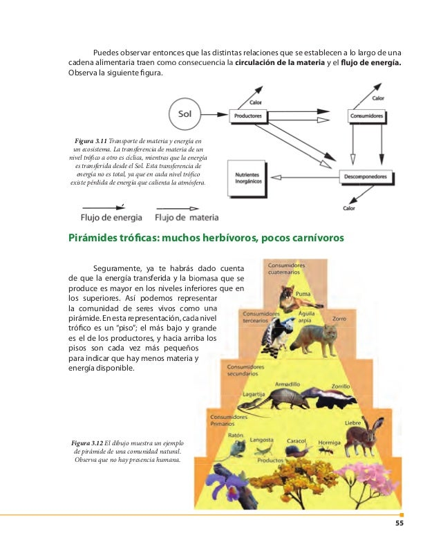 56 El tamaño de los escalones guarda relación con la biomasa o la energía disponible en cada nivel trófico. Generalmente s...