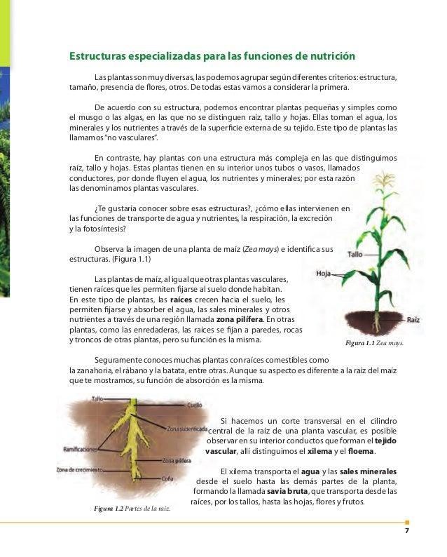 8 Los vasos conductores que forman el floema transportan los carbohidratos que se producen durante la fotosíntesis hacia t...