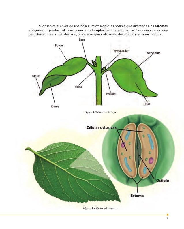 10 Figura 1.7 Cloroplastos en las células vegetales. ¿Sabías que...? En las plantas existen varios tipos de clorofila. Las...