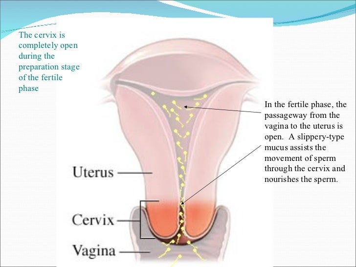 Vaginal sperm cervical sperm uterine sperm