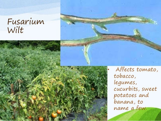 fusarium wilt of tomato thesis Sp and phytophthora sp , fruit rot caused by phytophthora , wilt caused by fusarium and tomato mosaic virus are most important affecting leaves, tender.