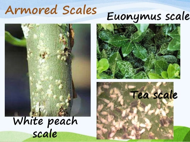 Euonymus Scale Natural Treatment