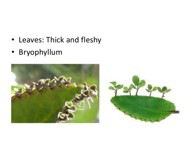 Asexual reproduction in bryophyllum leaves definition