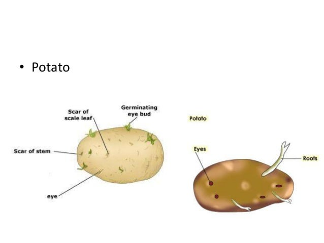 Potato vegetative propagation | Reproduction | Biology