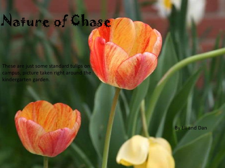 Nature of Chase<br />These are just some standard tulips on campus, picture taken right around the kindergarten garden.<br...