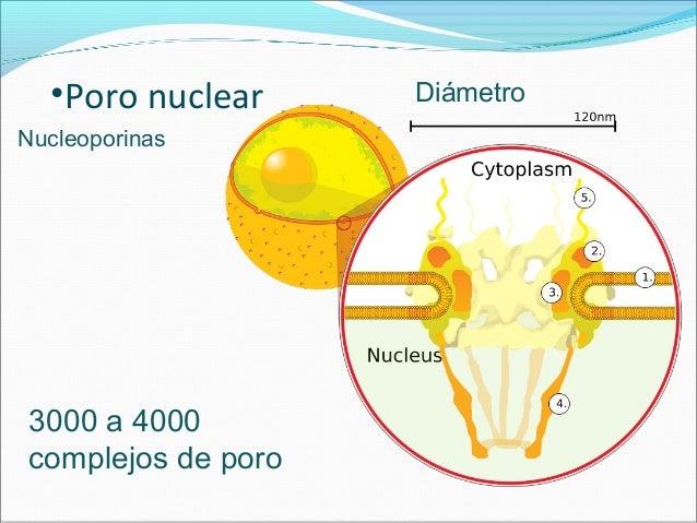 Los poros funcionan como una compuerta ARN y proteínas asociadas