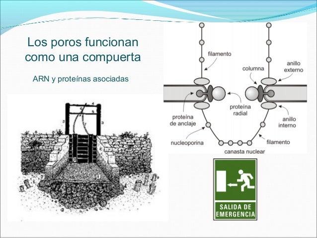 30 veces mas Grandes 50 a 100 proteínas Moléculas Hidrosolubles Ácidos Nucleídos
