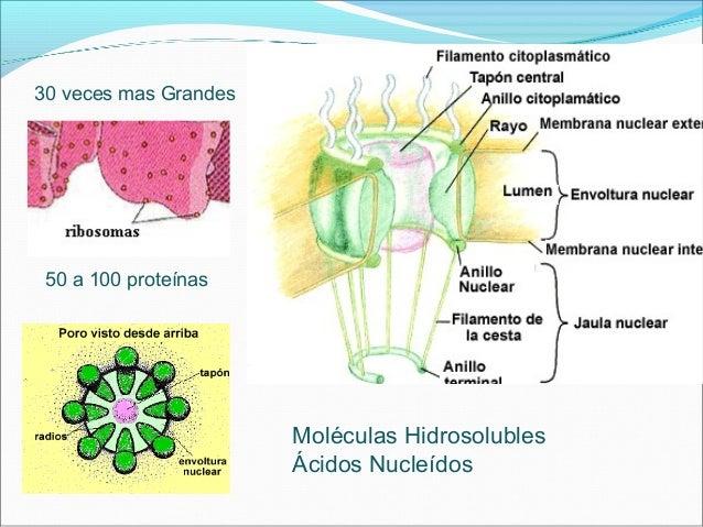 •Importación y Exportación de moléculas al núcleo Cel. importinas y exportinas NLS y NES Dilatación de 25 nm FG carioteinas
