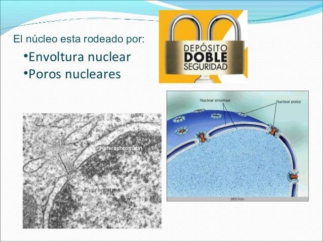 •Envoltura nuclear 25 – 45 nm cisterna Una capa delgada de proteínas. Contacto con RER Tachonada de ribosomas