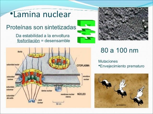 •Poro nuclear 3000 a 4000 complejos de poro Nucleoporinas Diámetro