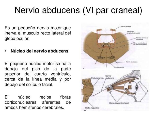 N cleos de los nervios craneales sus conexiones alejandra for Cuarto par craneal