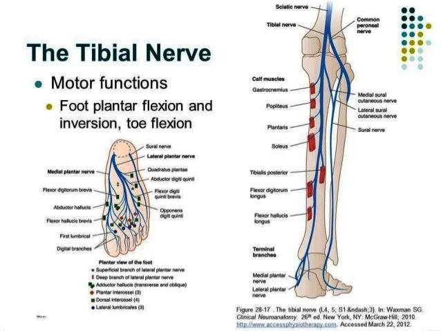 nerve conduction studies- lower leg, Muscles