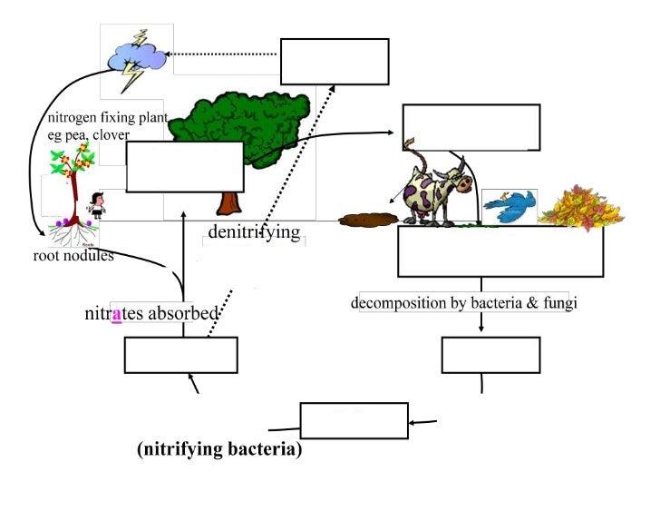 Nitrogen inthe airanimal proteindead plants & animalsurine & faecesammonianitritesnitratesplant madeproteindecomposition b...