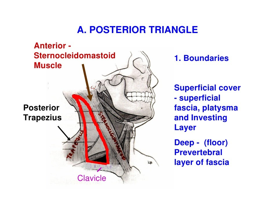 neck triangles Slide 3