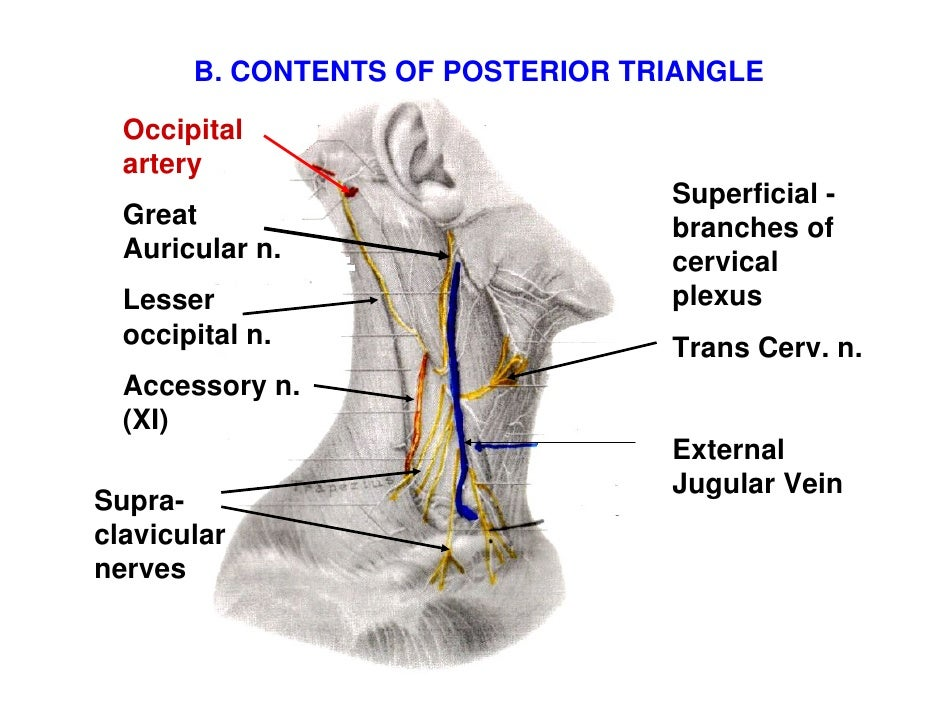 neck triangles