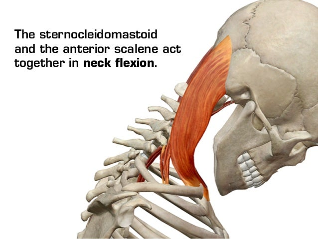neck muscles, Human Body