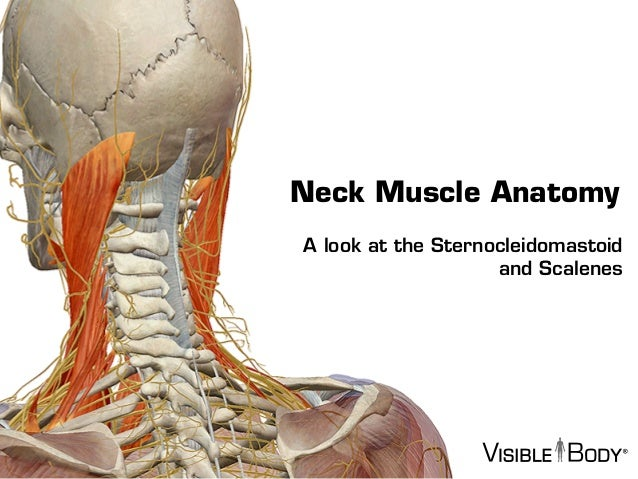 visible body - sternocleidomastoid and the scalene muscles, Human Body