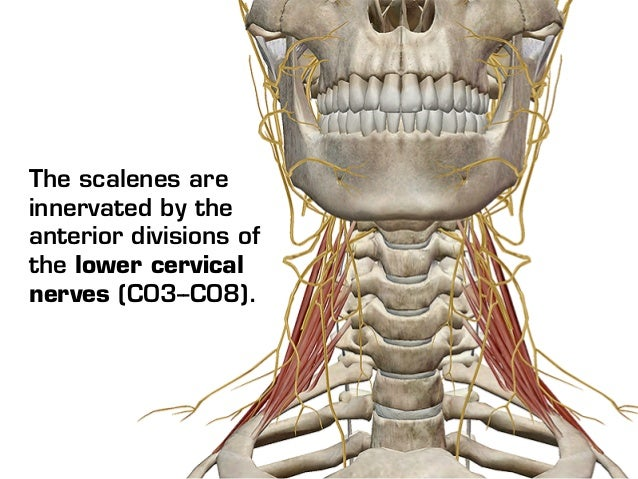 Visible Body - Sternocleidomastoid and the Scalene Muscles