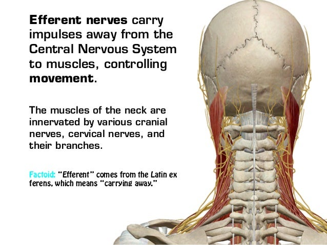 central nervous system movement of muscles Spasticity happens after your body's nervous system has been damaged,   muscles more flexible and give you better control of your arm movements  your  muscles move when they get electrical signals from the nerves that.