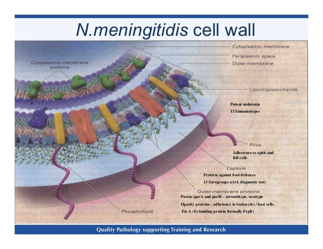 Neisseria meningitidis _clinical_laboratory_diagnosis_-plus (1)