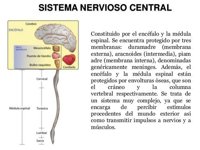 SISTEMA NERVIOSO CENTRAL  Constituido por el encéfalo y la médula espinal. Se encuentra protegido por tres membranas: dura...