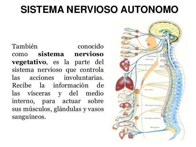 SISTEMA NERVIOSO AUTONOMO  También conocido como sistema nervioso vegetativo, es la parte del sistema nervioso que control...