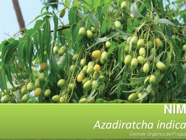 NIM Azadiratcha indica  Controle Orgânico de Pragas