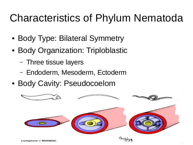 771653 besides 4698489 further Phylum Nematoda 61160081 further Cavity additionally 9728573. on ventral cavity organs