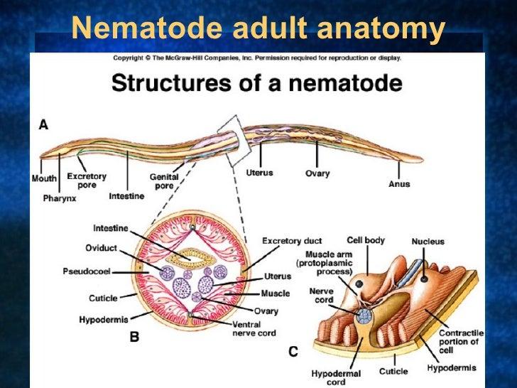 Anatomy of nematodes