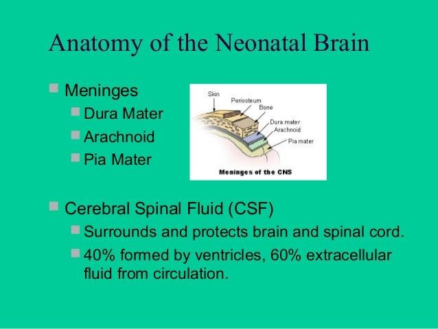Anatomy of the Neonatal Brain  Cavum Septum Pellucidum        Choroid Plexus  Corpus Callosum  Broad band of connectiv...