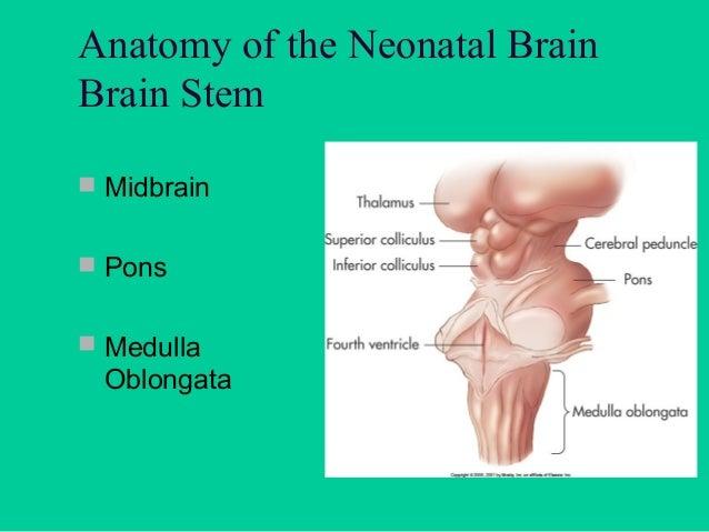 Cerebrovascular System  Internal Cerebral  Arteries  Vertebral Arteries  Circle of Willis  Middle Cerebral  Artery  L...
