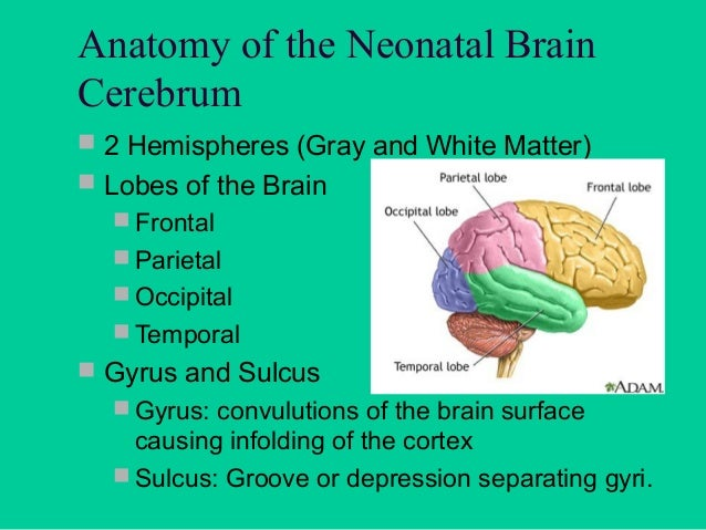 Cerebrum   Basal Ganglia  collection of gray matter   Caudate Nucleus & Lentiform  Nucleus  Largest basal ganglia  Re...
