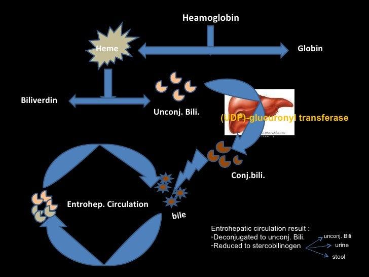 Heamoglobin Heme Globin Biliverdin Unconj. Bili. Conj.bili. bile Entrohep. Circulation (UDP)-glucuronyl transferase <ul><l...
