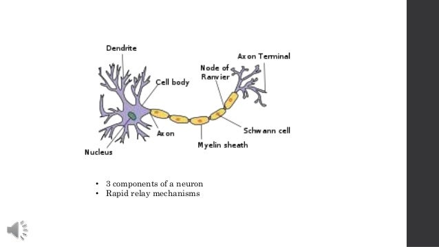 Nerve cell communication diagram diy wiring diagrams nerve cell communication rh slideshare net nerve cell structure sensory neuron ccuart Choice Image