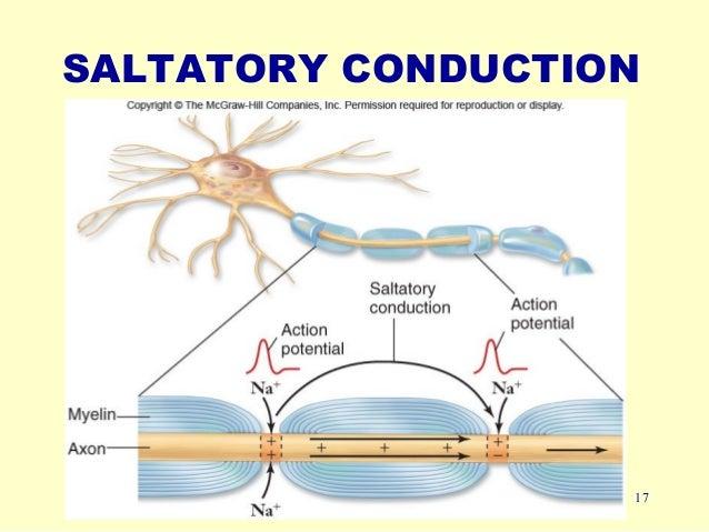 Saltatory Conduction: single AP or not?